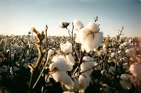 Safety Stock-cotton